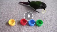 Kuş Beyinli Deyimini Tarihe Gömen Akıllı Kuş